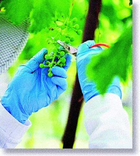 ブドウの実を間引く作業をするミドリ。1年前に比べ、穏やかな気持ちで仕事に向き合えている=峡中地域