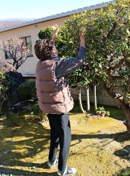 庭木の手入れに精を出す女性。90歳で胃がん手術を受け、平穏な日常が戻った=甲府市内