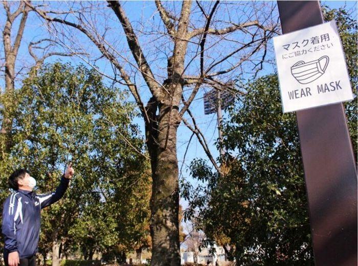 つぼみ状態の桜の木が立ち並ぶ小瀬スポーツ公園。今季も桜まつりの中止が決まった=甲府市小瀬町