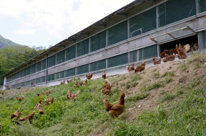 黒富士農場で放牧されている鶏の群れ=甲斐市内