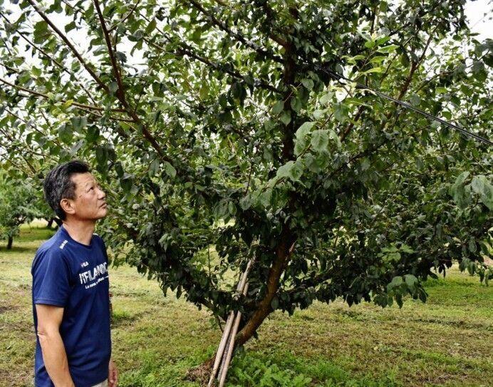 スモモの高級品種「貴陽」の木を見つめる農家高石栄貴さん。米国産スモモの輸入解禁に懸念を口にする=南アルプス市湯沢