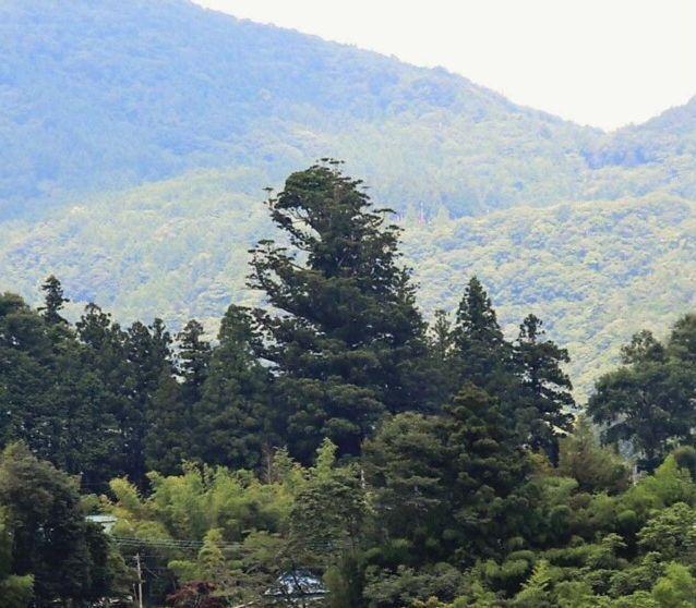 「ゴジラ」に見える県指定天然記念物「京ケ島の夫婦スギ」=早川町京ケ島