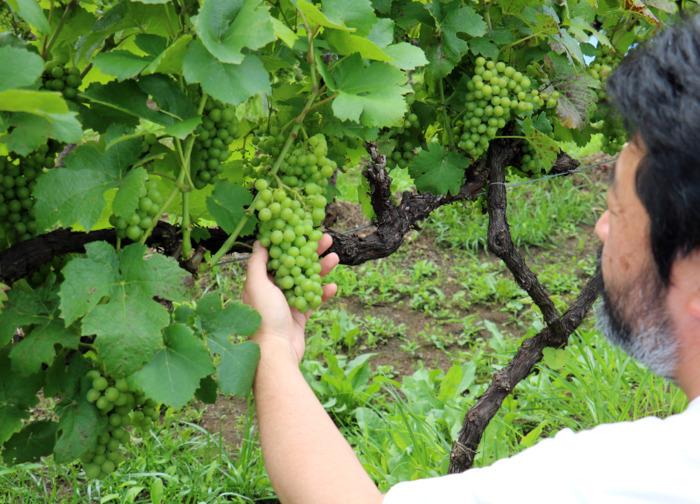 ワイナリー近くの自社畑ではピノ・ノワールなどを栽培している=甲州市勝沼町小佐手