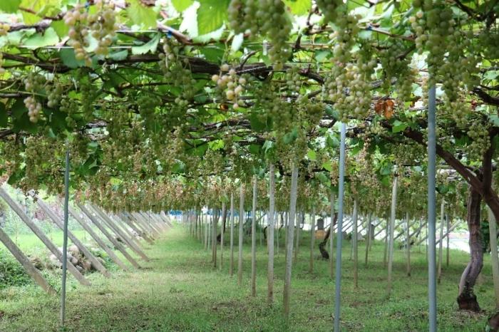 R133の原料となる甲州種ブドウを栽培している上野園の東園=山梨市東