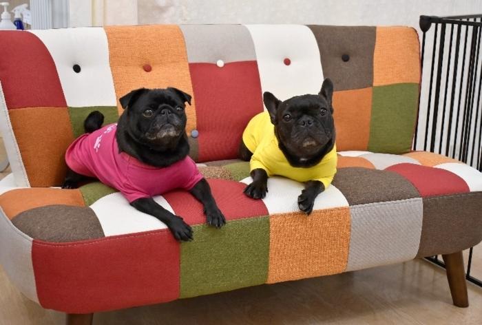 撮影のモデルとしても活躍する看板犬。パグの「るな」(左)とフレンチブルドッグの「かな」