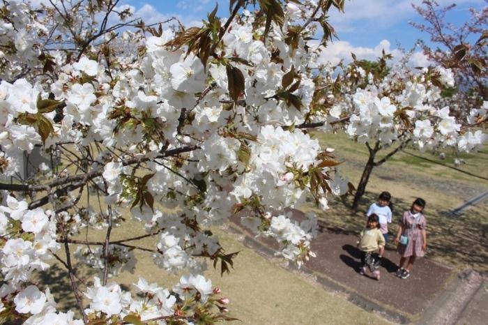 見頃を迎えた「乙黒桜」=中央市乙黒