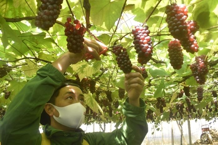県内で最も早く始まった、ハウス栽培のデラウェアの収穫=山梨市内