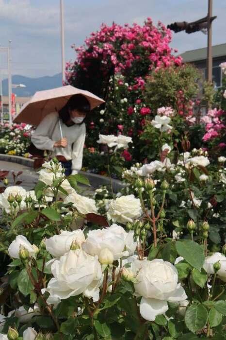駅周辺を彩るバラ=笛吹・JR石和温泉駅(11日撮影)